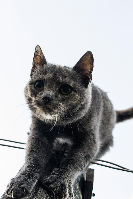 Crna ebanovina maca jebena